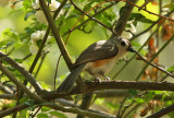Tufted Titmouse: Baeolophus bicolor