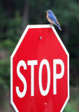 Male Eastern Bluebird:  Sialia mexicana