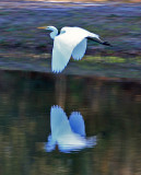 Great Egret: Casmerodius albus