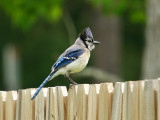 Blue Jay juvenile