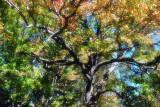 A favorite tree (again)