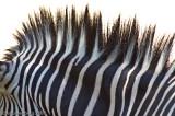 Zebra Abstract #1 - Denver Zoo