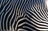 Zebra Abstract #2 - Denver Zoo