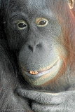 A very old Orangutan