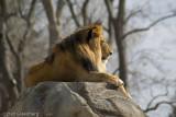 Lion, fast asleep, Denver Zoo