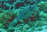 Filefish & tobies