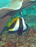 Bannerfish