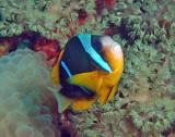 Nemos aka clownfish