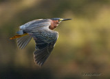 Green Heron (textured)