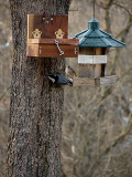 The Nuthatch THINKING about using the new feeder
