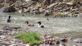 Two Guys and a Girl (mallards)
