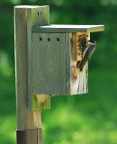 Tree Swallows moved in