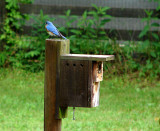 The bluebirds finished the nest started by the swallows