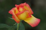 IMG_5264 roses.jpg