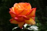 IMG_0879 roses.jpg
