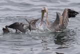 IMG_0542 pelicans.jpg