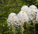 Bear Grass flowers           IMG_4697a.jpg