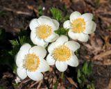 Wild flowers (Tatoosh)