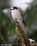 Gray Jay  (Camp Robber)