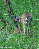 < 1 hr old Fawn