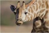 Giraffe at waterhole