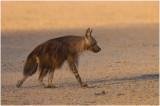 Brown Hyena