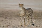 Early morning cheetah