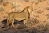 Lion against dune