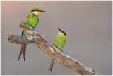 Swallowtailed Bee-eaters