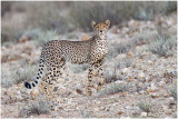 Cheetah against dune