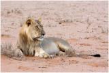 Lion at Houmoed