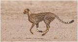 Airborne Cheetah