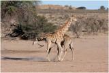 Duelling Giraffes