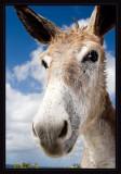 Bonaire Wild Donkey