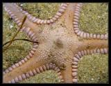 spiny sand star