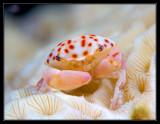 Juvenile Batwing Coral Crab