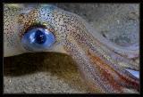 Redondo Canyon Squid