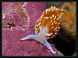 Nudibranch, Hermissenda crassicornis
