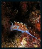 Hermssenda Crassicornis nudibranch