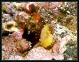 White Spotted Porostome