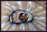 The Eye of the Limpet