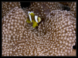 Anemonefish and shrimp