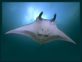 Manta Ray from Yap