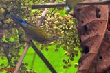 Purple-naped Sunbird (Hypogramma hypogrammicum)