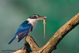Collared Kingfisher (Halcyon chloris)