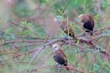 PASSERIFORMES: Estrildidae ( Munia )