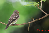 Dark-sided Flycatcher (Muscicapa sibirica)  - Juvenile