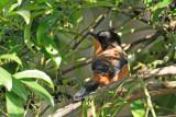Rufous Sibia (Heterophasia capistrata)