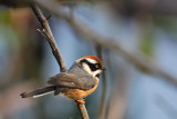 Passeriformes : Aegithalidae