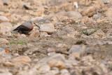 Passeriformes : Sittidae